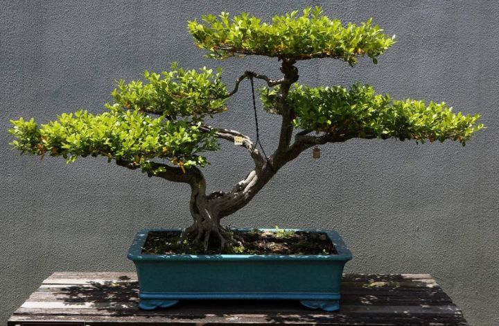 The boxwood is not strict with the growth environment. It can be maintained in half shade, or it can be maintained indoors. It can be given enough light in autumn and winter and cold in winter.