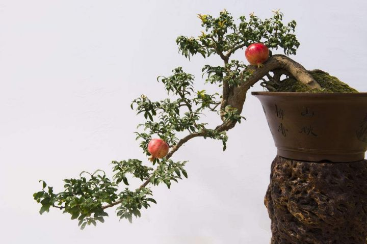 Pomegranate is a very good flower and fruit viewing plant. Made into a bonsai, it has a very high ornamental value.