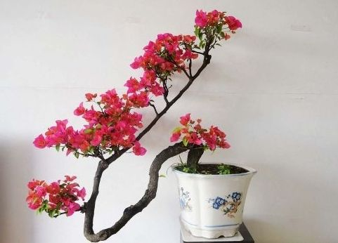 Bougainvillea is very good, it can be made by trimming and slashing, and the bonsai of various shapes. Bougainvillea requires less soil and has a strong vitality. It needs to be given sufficient light for curing.