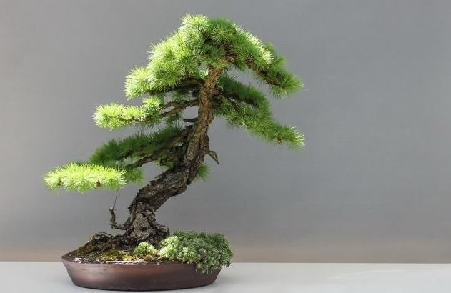 Pine bonsai can be said to be a bonsai in the bonsai, very oriental charm. Raising the pine bonsai is a test of the martial arts and the pruning effort, so it is not suitable for novice farming.
