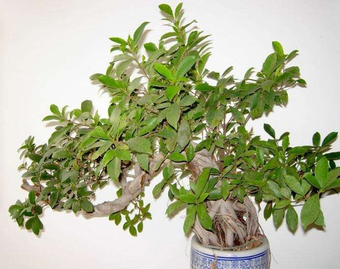 Eucalyptus urophylla is a common indoor potted plant with leaves drooping and evergreen.