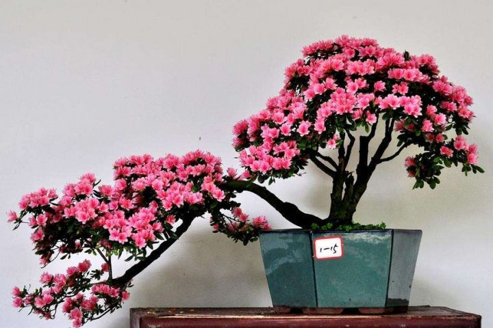 Azaleas are also very suitable for making bonsai. The flowers of azaleas are very beautiful, and with a good bonsai shape, it is more ornamental.